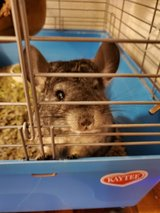 2 female chinchillas with cage in Camp Pendleton, California