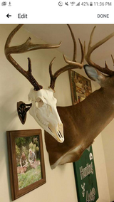 European Deer Skull Mounts Taxidermy Hunting in Cherry Point, North Carolina