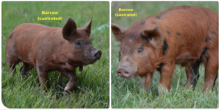 BARROWS Idaho Pasture Pigs (IPP) in Spring, Texas