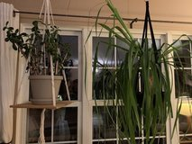 PLANTS FOR SALE!  Jade and Ponytail Palm in Naperville, Illinois