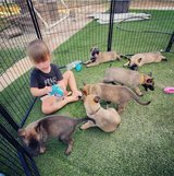 Belgian Malinois puppies for good home in Ansbach, Germany