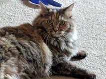 Lost Cat in Alamogordo, New Mexico