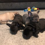 French Bulldogs Available in Stuttgart, GE