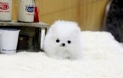 bty lovely pomeranian babies for sale in Biloxi, Mississippi
