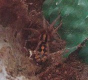 Wanted tarantula in Joliet, Illinois