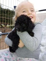 MINI POODLES in Fort Campbell, Kentucky