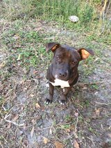 Female bully/pit in bookoo, US
