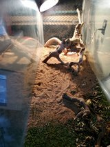 3 bearded dragons with cage in Yucca Valley, California