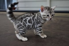 Bengal Kitten Now Avail... in Stuttgart, GE
