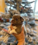Chihuahua puppy female looking for a new home in Stuttgart, GE