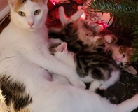Christmas Kittens Purrrfect gift in Cherry Point, North Carolina