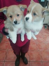 2 female and 3 males Welsh Corgi puppies in Pasadena, Texas