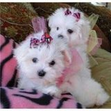 Teacup Maltese Puppies available contact for more details via(727) 487-1948 in Jacksonville, Florida