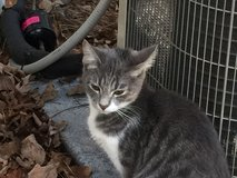 FOUND-2-Gray Kittens in Camp Lejeune, North Carolina