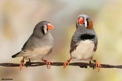 zebra finches with cage in Camp Lejeune, North Carolina