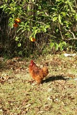 red Cochin bantam rooster in Spring, Texas