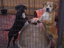 Puppies Looking for their forever family. in Fort Polk, Louisiana