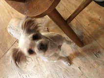 Looking for a male yorkie  for stud. in Fort Polk, Louisiana