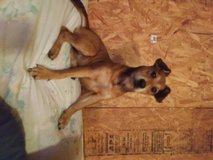Free to good home rat terrier curr mix in Fort Polk, Louisiana