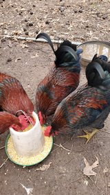 Asian Roosters in Clarksville, Tennessee