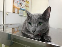 Russian Blue cat in Okinawa, Japan