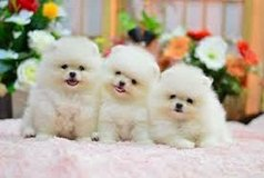 T///-Cup pomeranians  (11 weeks 0LD ) in Pleasant View, Tennessee