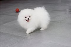 T0y Pomeranians for adoption. Male//female. in Lackland AFB, Texas