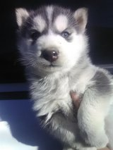 Woolly husky/malamute hybrid pups in Camp Pendleton, California