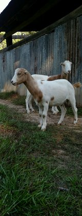 Baby  Goats in Livingston, Texas