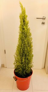 Cypress with pot in Wiesbaden, GE