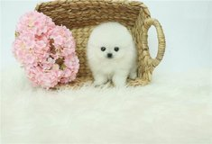 adorable litter of white Pomeranians. pxe in Aiken, South Carolina
