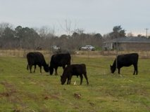 Calves in Warner Robins, Georgia