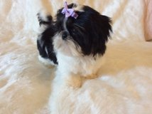 Valentine Shih Tzu puppies ready for Adoption in Cleveland, Ohio