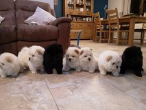 Chow Chow  Puppies for adoption in Shreveport, Louisiana