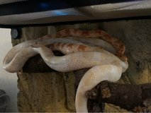 2 Corn Snakes with Terrarium/Heat Lamp/Stand in Ramstein, Germany