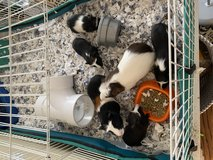 Guinea pigs in St. Charles, Illinois