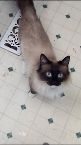 Female Ragdoll in Great Lakes, Illinois