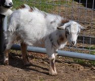 Nigerian Dwarf Bucklings in Fort Polk, Louisiana