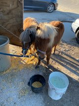 Male and female ponys + trailer in Galveston, Texas