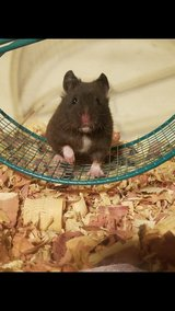 15 week old hamster just don't have time for her. in Bolingbrook, Illinois