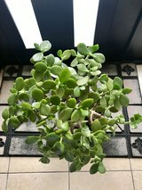 Large Healthy Jade Plant (Lucky Plant or Money Tree) in Okinawa, Japan