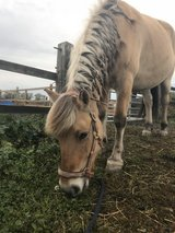 Pony for loan in Lakenheath, UK
