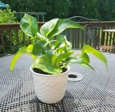 Pothos Plant in White Ceramic Pot in Fort Campbell, Kentucky