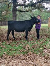 Holstein/ Angus heifer in Leesville, Louisiana