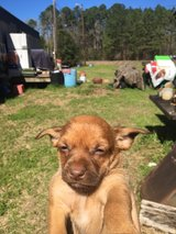 FREE PUPPIES in Leesville, Louisiana