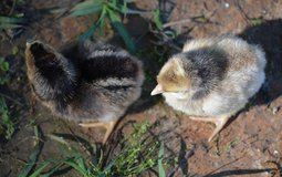 CREAM LEGBAR CHICKS  FEMALES in Leesville, Louisiana