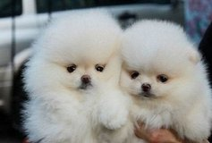 re Happily trained >>: pomeranian puppies. in Moody AFB, Georgia