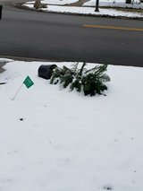 Curb Alert Potted Norfolk Pine in Glendale Heights, Illinois