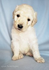 F1bb Male Goldendoodle in Fort Leonard Wood, Missouri
