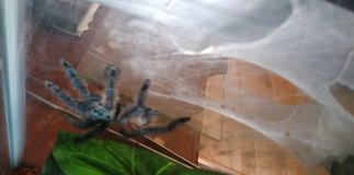 Wanted tarantula in Chicago, Illinois